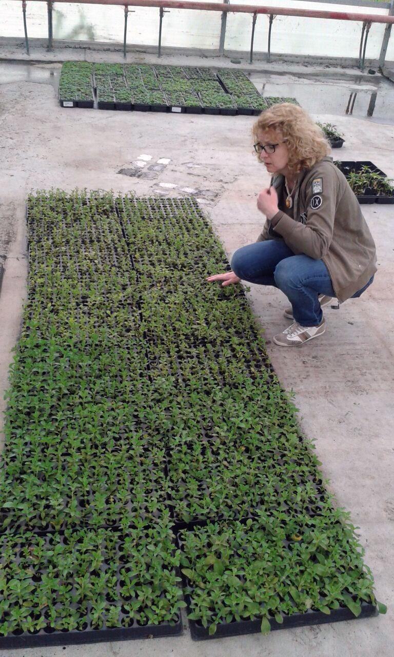 piante di stevia