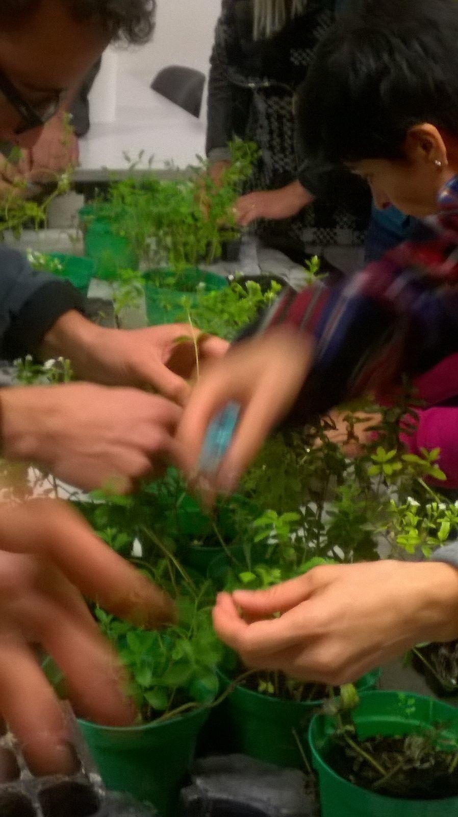 creare le piante di stevia