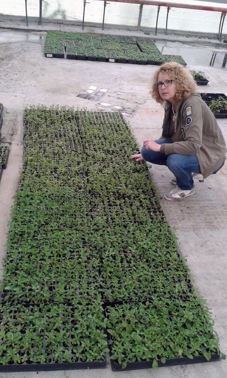 piante con la stevia